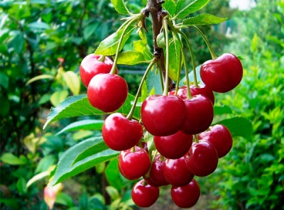 Саженцы вишни - Кентская
