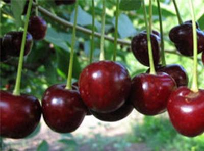 Саженцы вишни - Молодежная