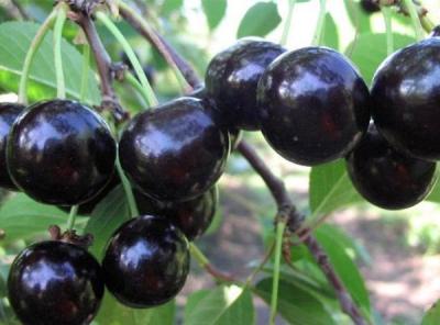 Саженцы вишни - Владимирская