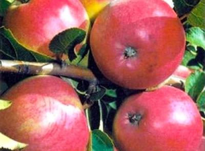 Саженцы яблони - Афродита