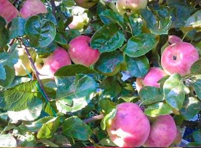 Саженцы яблони - Ауксис