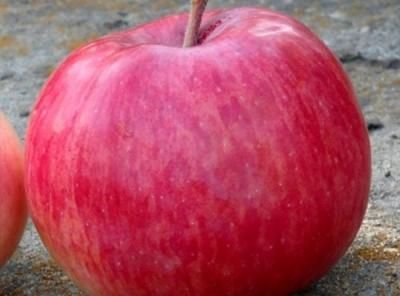 Саженцы яблони - Беркутовское