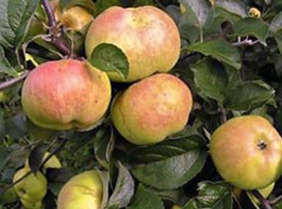Саженцы яблони - Богатырь