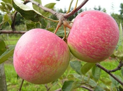 Саженцы яблони - Июльское Черненко