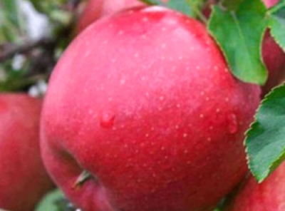 Саженцы яблони - Хоней Крисп