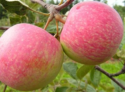 Саженцы яблони - Конфетное