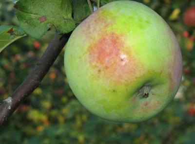 Саженцы яблони - Мартовское
