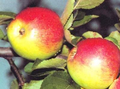 Саженцы яблони - Орловское полесье