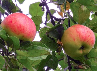 Саженцы яблони - Осеннее полосатое (Штрейфлинг)