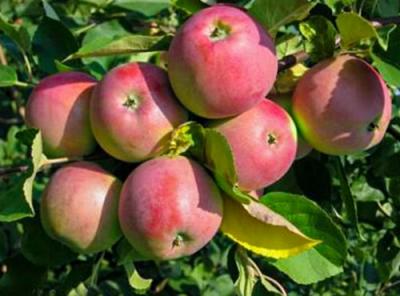 Саженцы яблони - Синап Северный