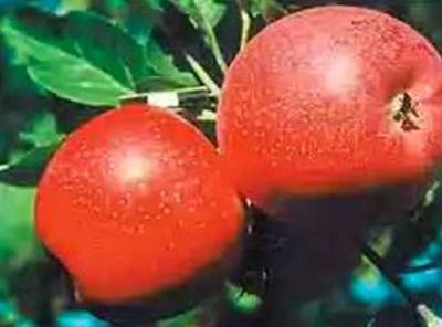 Саженцы яблони - Солнышко