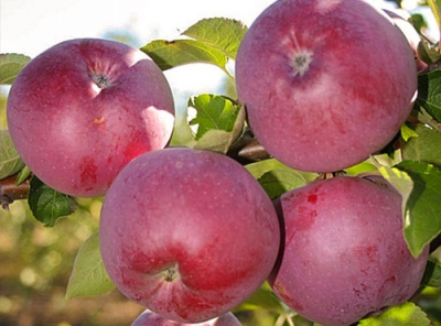 Саженцы яблони - Спартан