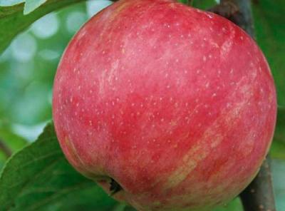Саженцы яблони - Услада