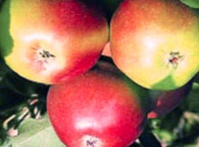 Саженцы яблони - Успенское