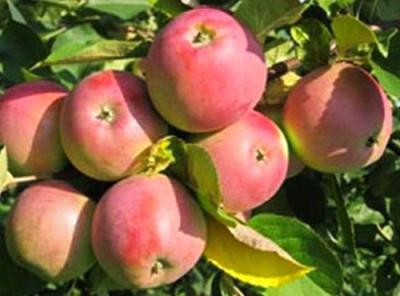 Саженцы яблони - Вишневое