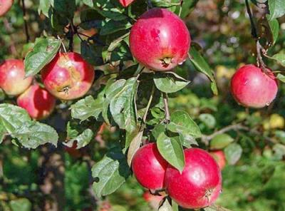 Саженцы яблони - Звездочка
