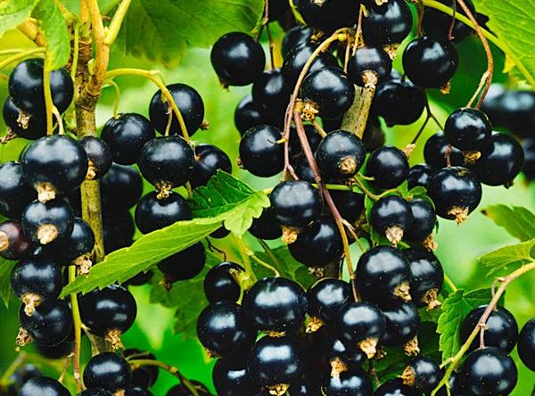 Саженцы черной смородины - Гулливер