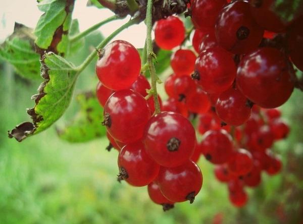 Саженцы красной смородины - Асора
