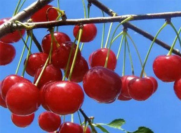Саженцы вишни - Десертная Морозовой