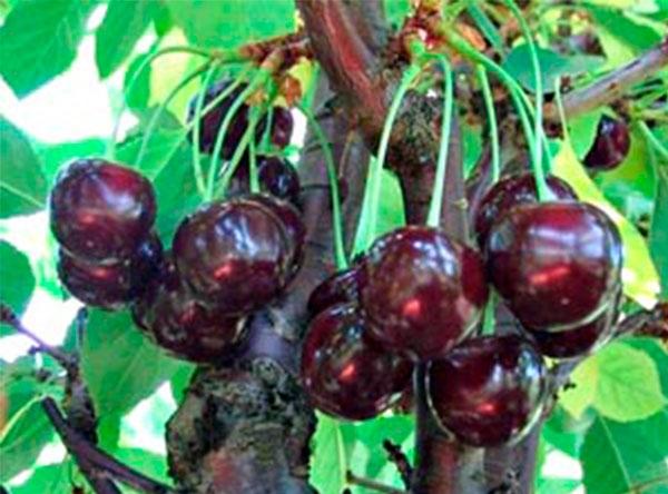 Саженцы вишни - Жуковская