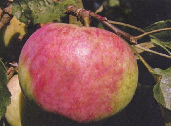 Саженцы яблони - Бессемянка мичуринская
