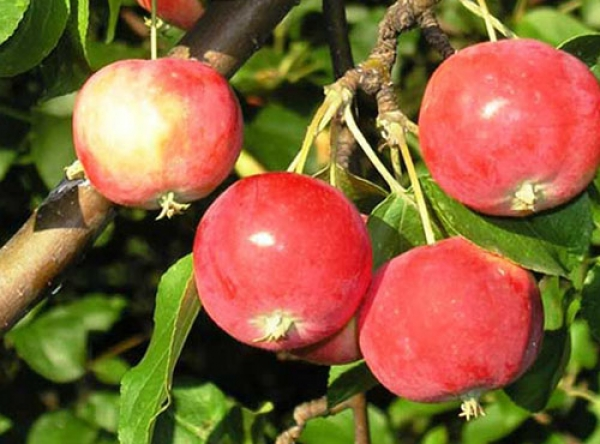 Саженцы яблони - Китайка Керр