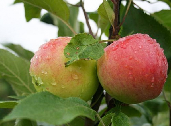Саженцы яблони - Мантет