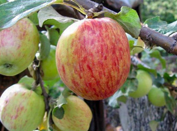 Саженцы яблони - Орловское полосатое