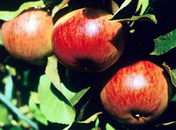 Саженцы яблони - Осенняя радость