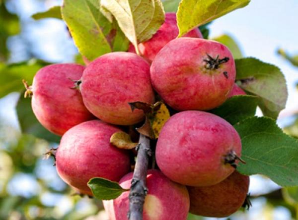 Саженцы яблони - Пепин шафранный