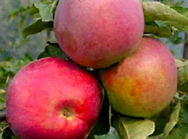 Саженцы яблони - Подарок Графскому
