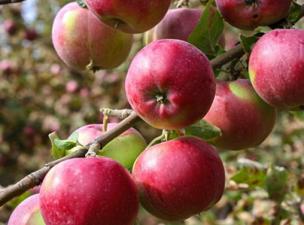 Саженцы яблони - Рождественское