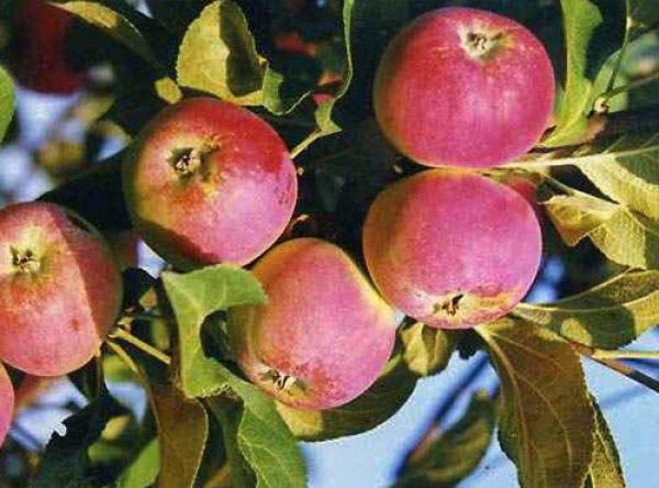 Саженцы яблони - Серебряное копытце