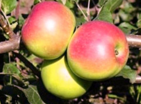 Саженцы яблони - Уэлси