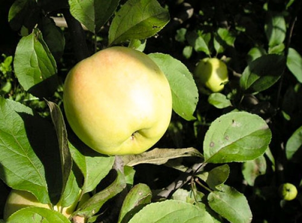 Саженцы яблони - Уральское наливное