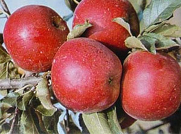 Саженцы яблони - Женева Эрли
