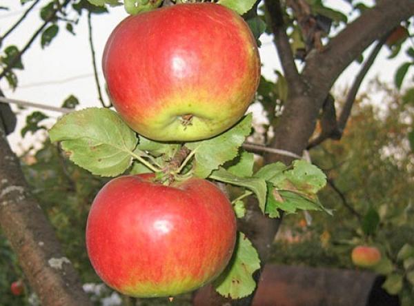 Саженцы яблони - Жигулевское