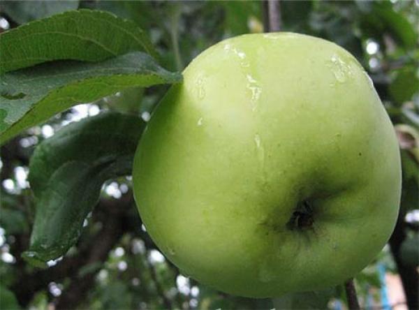 Саженцы яблони - Антоновка обыкновенная