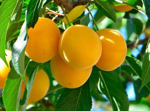 Саженцы алычи - Мара (жёлтая)