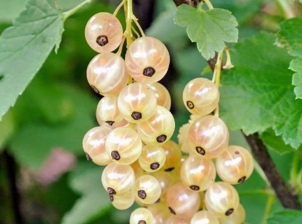 Саженцы белой смородины - Версальская белая