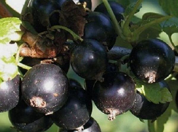 Саженцы черной смородины - Экзотика