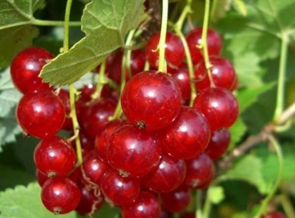 Саженцы красной смородины - Устина