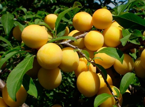 Саженцы сливы - Медовая белая (жёлтая)