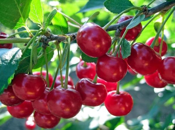 Саженцы вишни - Тургеневка