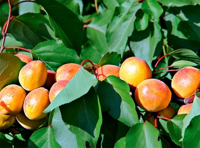 Саженцы абрикосов - Алёша