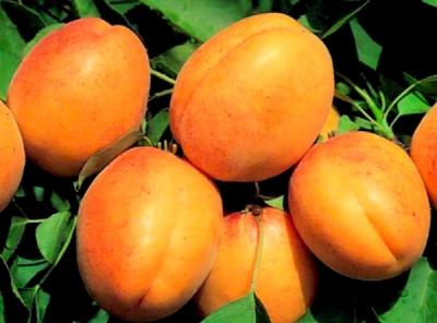 Саженцы абрикосов - Триумф северный