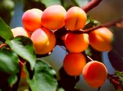 Саженцы абрикосов - Ульянихинский