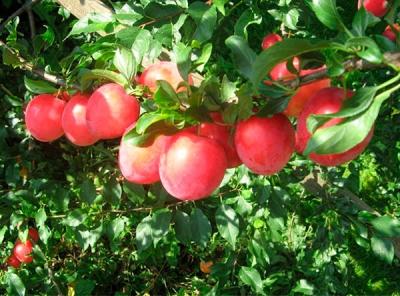 Саженцы алычи - Июльская роза