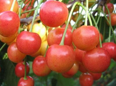 Саженцы черешни - Брянская розовая