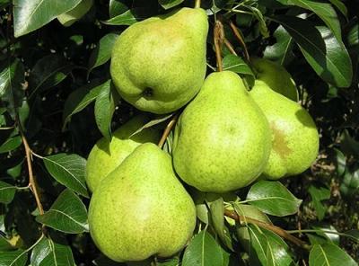 Саженцы груши - Августовская роса
